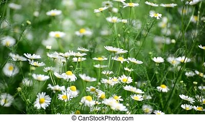 Wild daisies swaying on strong wind
