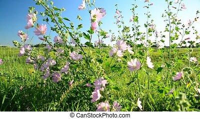 Purple pink meadow mallow flowers Malva