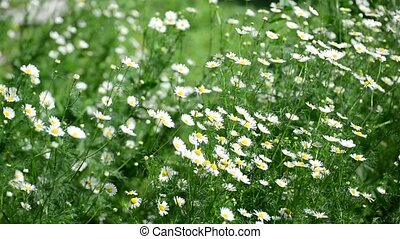 Wild daisies swaying on strong wind - Wild daisies swaying...