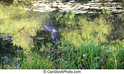 small river overgrown with reeds and duckweed in central...