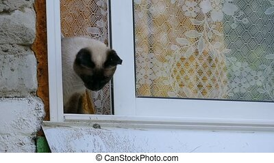 cat looks out window slow motion video - Siamese cat looks...