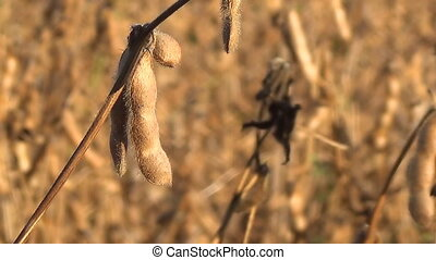 Soybeans Ready for Harvest, Soy Bean - Harvest Ready Soy...