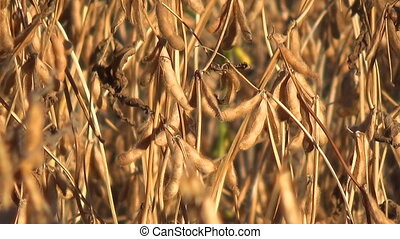 Soybeans Ready for Harvest, Soy Bean. - Harvest Ready Soy...