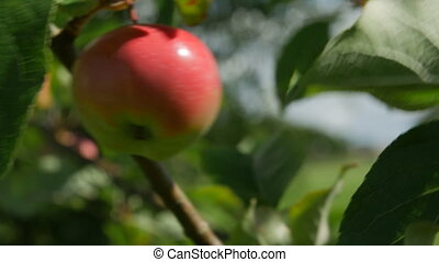 juicy red apple on a tree branch