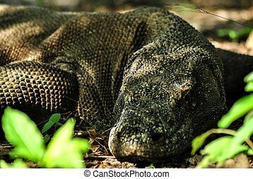 Sleeping Komodo Dragon in Rinca island