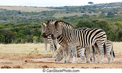 Burchell's Zebra at Watering Hole - Burchell's zebra is a...