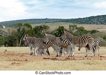 Tribe of Burchell's Zebra at Watering Hole - Burchell's...