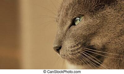 Muzzle gray cat close-up - Muzzle of gray sleepy cats,...
