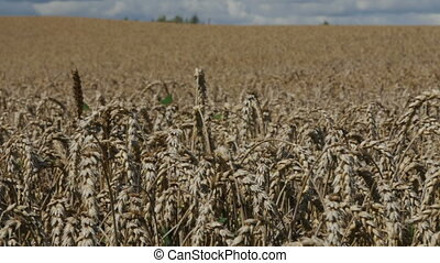 Large field of wheat swaying in the wind, panorama.