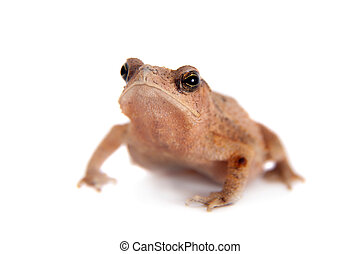 Beauty toad on white - Beauty toad, bufo sp, isolated on...