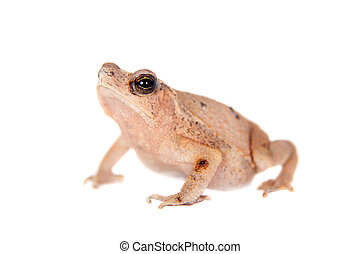 Beauty toad on white - Beauty toad, isolated on white...