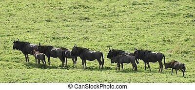 Buffalo Train - Train of water buffalos crossing an open...