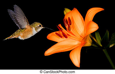 Rufous hummingbird feeding from beautiful lily - Hummingbird...
