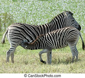Feeding Time - Baby zebra feeding on mother in field of...