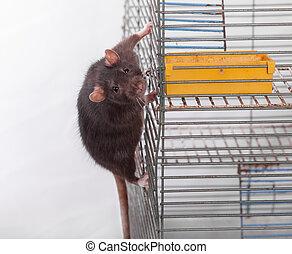 curious black rat