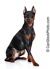 Miniature Pinscher dog - Miniature Pinscher (zwerg pinscher)...