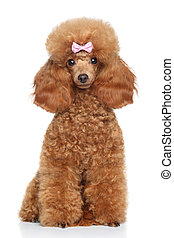 Toy Poodle puppy on a white background - Red Toy Poodle...