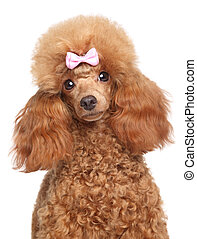 Toy poodle puppy close-up portrait on a white background