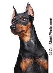 Miniature Pincher dog - Miniature Pincher (zwerg pinscher)....