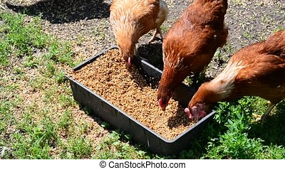 Home chickens peck grain from trough - A Home chickens peck...