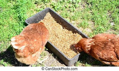 Home chickens peck grain from trough