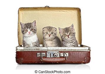 Scottish kitten in old suitcase