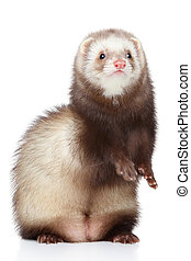 Brown Ferret on white background