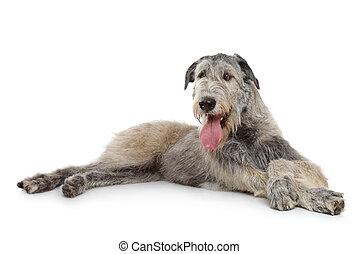 Irish Wolfhound dog lying on a white background