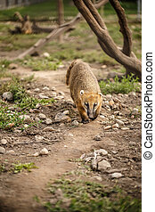 South American coati, or ring-tailed coati (Nasua nasua)