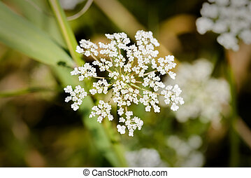 Daucus Carota Flower - Macro of a white open wild carrot...