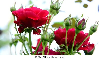 The bush of red roses on light background