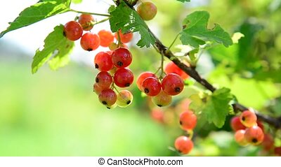 Ripe red currant berries in garden