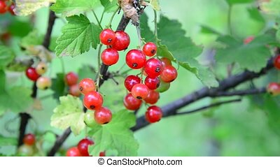 branch red currant in the garden - branch of red currant in...