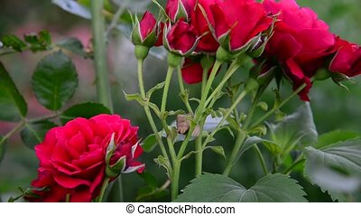The bush of red roses in garden - The bush of red roses in...