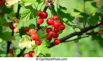 branch red currant in the garden on a sunny day