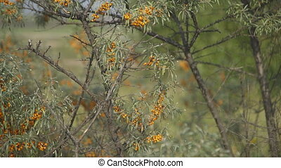 Close up view of buckthorn in bloom. Bush is fluffy with...