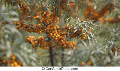 Close up view of orange buckthorn branches. Waving in wind...