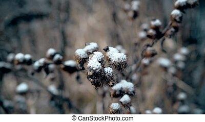 Burdock prickly head under snow - Closeup of dry burdock...
