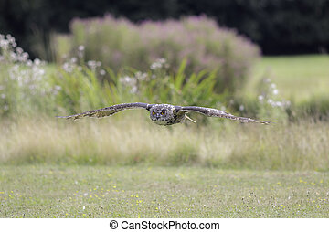 Eagle Owl flying in the countryside - Eurasian eagle owl...