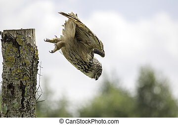 European Eagle Owl diving towards - Eurasian eagle owl (bubo...