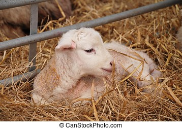 Newborn lamb - A newborn lamb laying on a bed of straw.