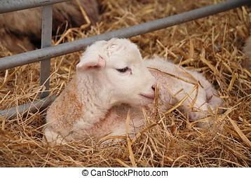 Newborn lamb - A newborn lamb laying on a bed of straw.