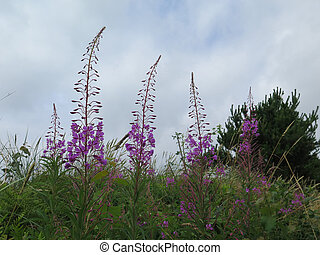 Rosebay willowherb, fireweed plant in summertime in Denmark