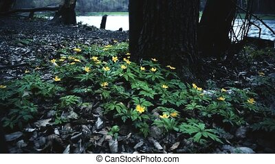 Dramatic scene with wild yellow flowers in forest with lake...
