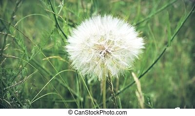 Fluffy dandelion on background of green grass