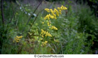 Yellow lady's bedstraw on background of green grass - Galium...