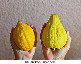 Women's hands holding the etrog - Women's hands holding the...