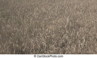 Close up panoramic view of field sown grain. Large piece of...