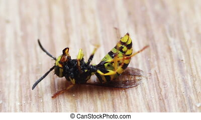 Dying Wasp on the Floor - Dying Wood Wasp on the Floor....