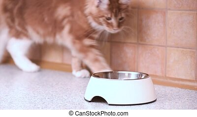 Maine coon cat eating - Red-haired kitten run to food and...